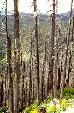 Forest stripped by eruption of Mount St. Helens volcano. WA.