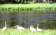 Trumpeter swans in Yellowstone National Park. WY.